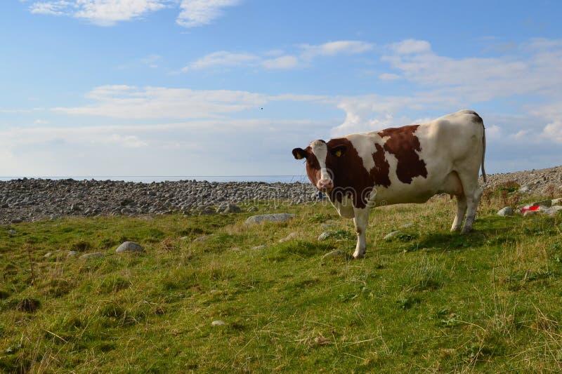 Корова Curios стоковое изображение