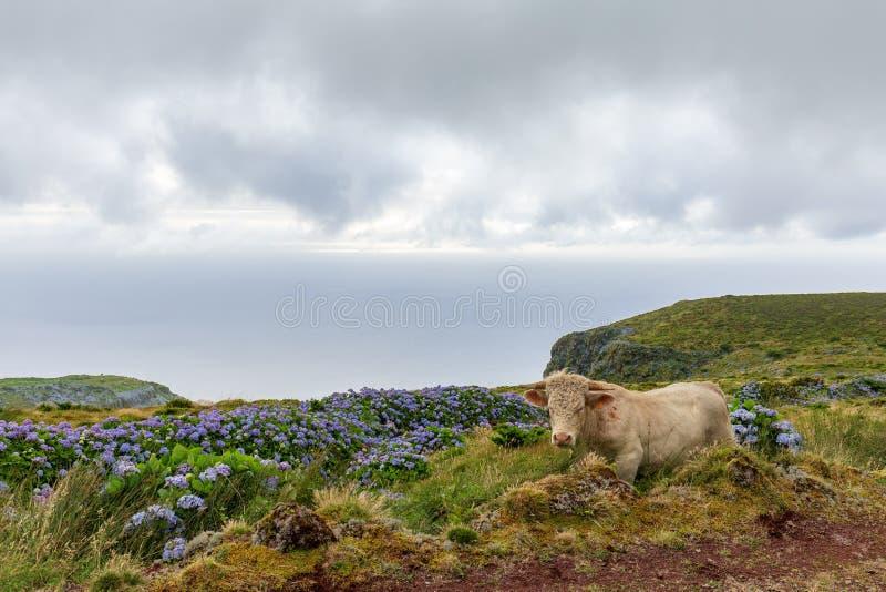 Корова Flores стоковое изображение rf