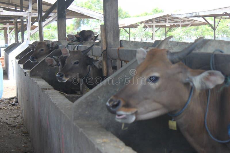 Коровы Брауна Индонезии в коровнике стоковые изображения