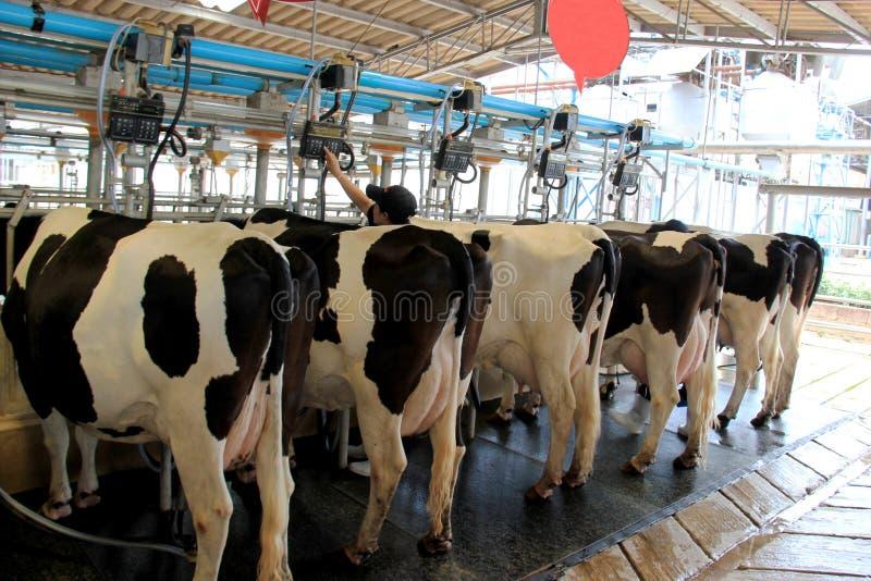 Коровы будучи надоенным профессионально на коровнике стоковые фото