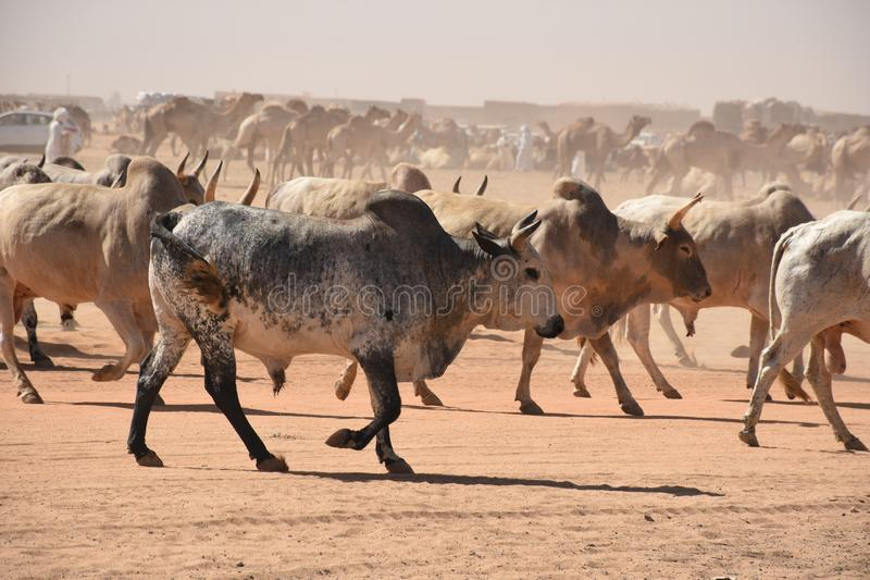Коровы возглавляя для того чтобы выйти на рынок в Хартуме стоковое фото rf