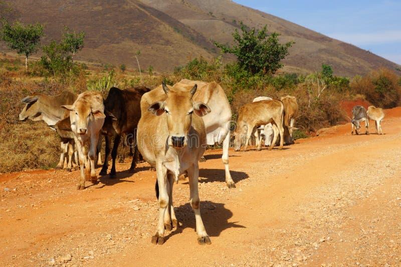 Коровы в ландшафте Myanmar стоковое фото rf