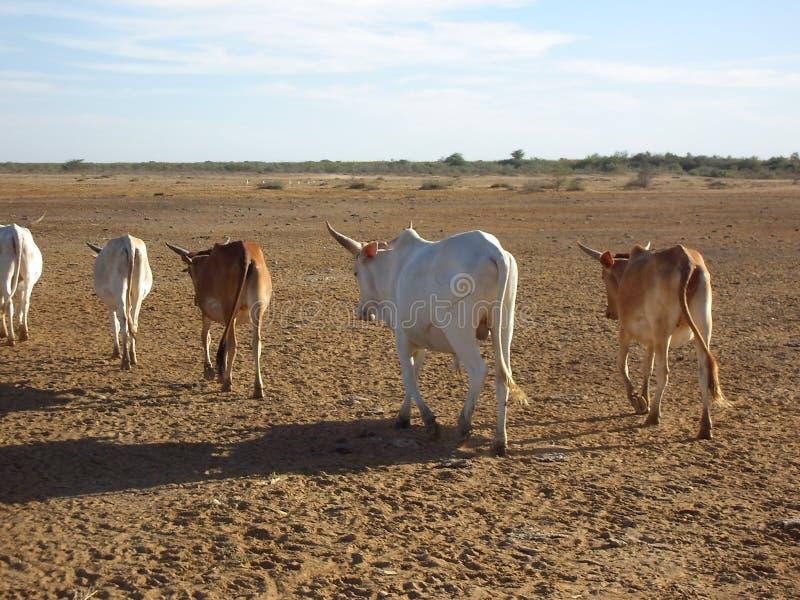 Коровы в выходе на пенсию стоковое изображение