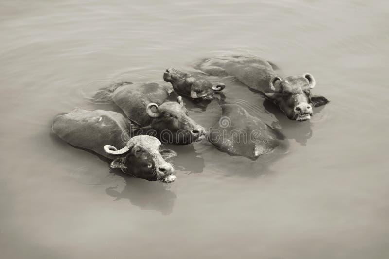 Коровы в Ганге - Варанаси, Индии стоковая фотография rf