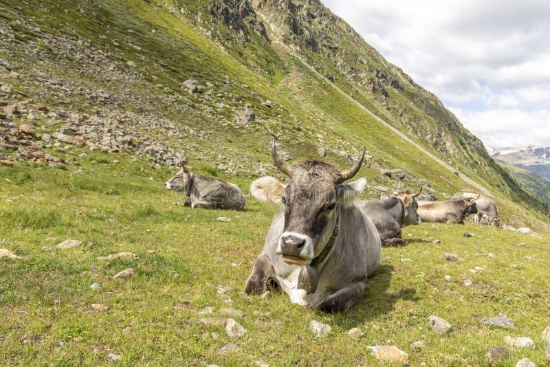 Коровы в горах, Пассо-Ромбо - Тиммельжоч, итальянско-австрийская граница стоковое фото