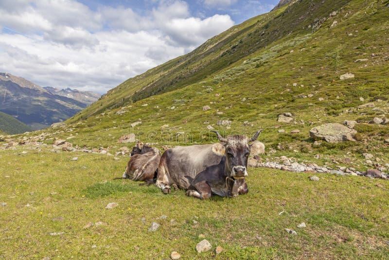 Коровы в горах, Пассо-Ромбо - Тиммельжоч, итальянско-австрийская граница стоковое изображение rf