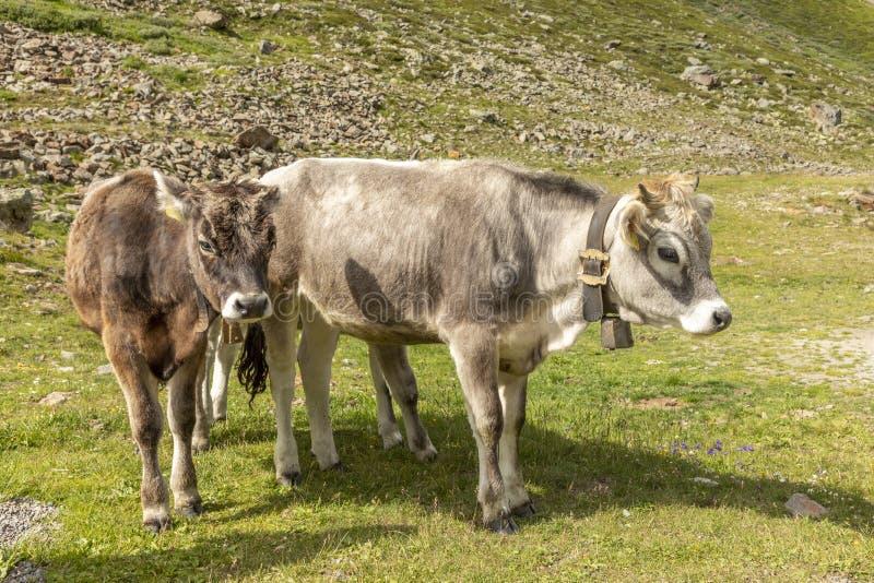 Коровы в горах, Пассо-Ромбо - Тиммельжоч, итальянско-австрийская граница стоковые изображения rf