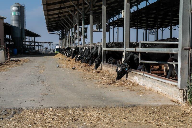 Коровы в коровнике стоковое фото