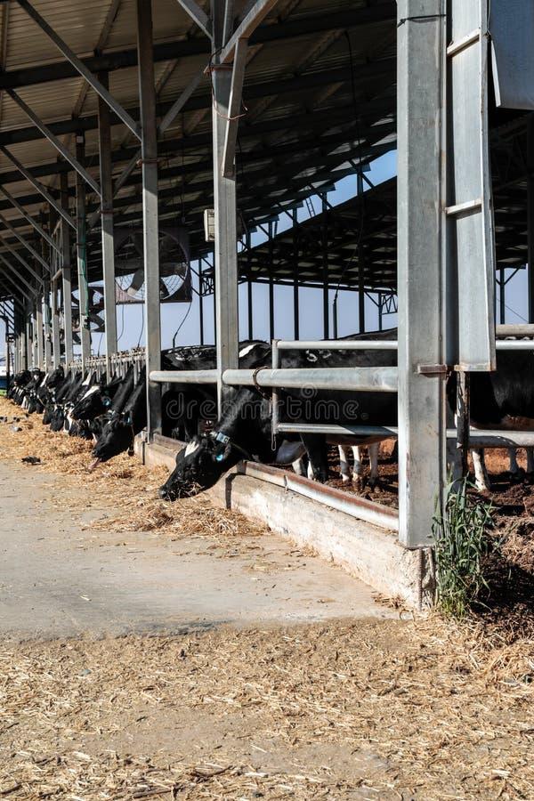 Коровы в коровнике стоковая фотография