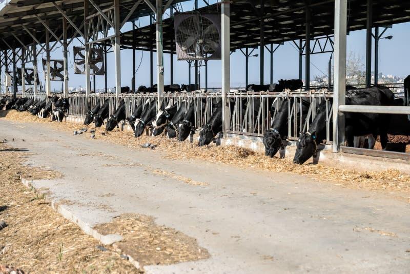 Коровы в коровнике стоковые изображения rf