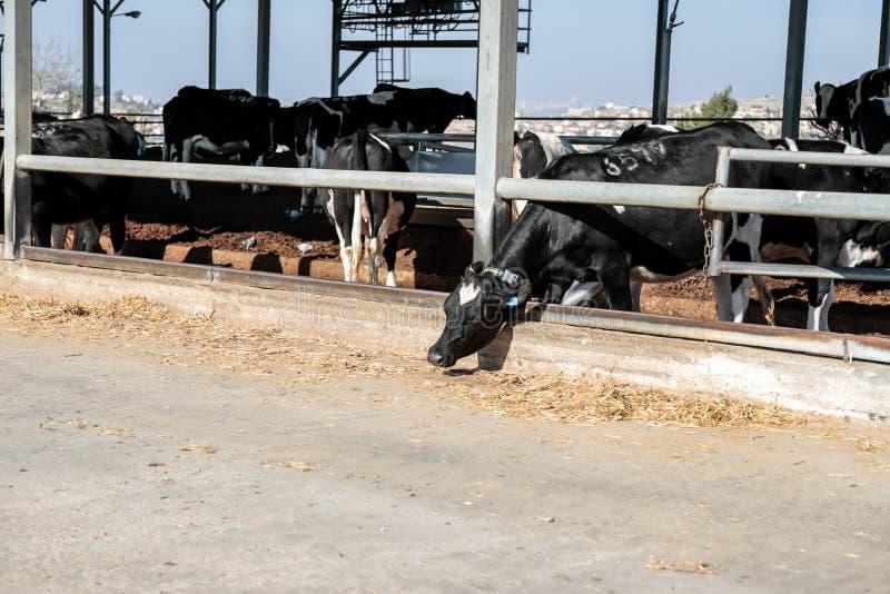Коровы в коровнике стоковая фотография rf