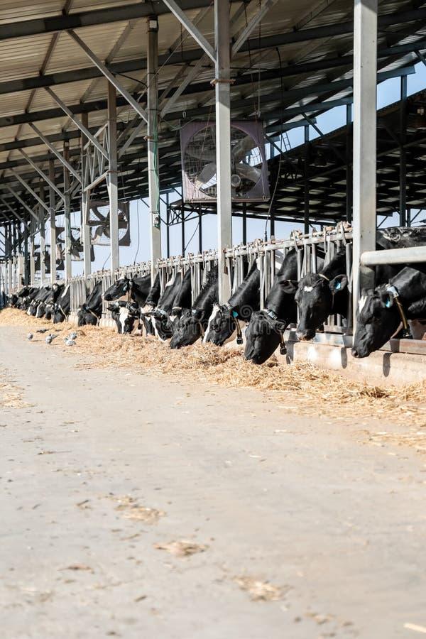 Коровы в коровнике стоковые изображения