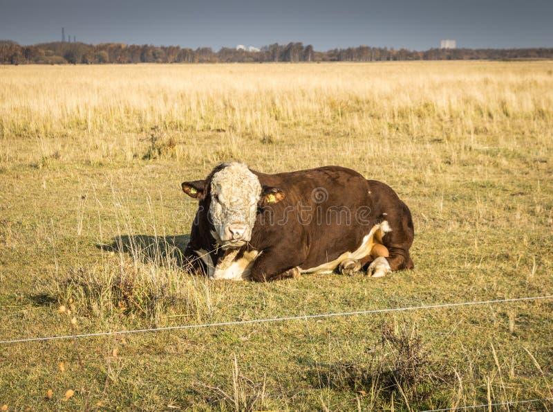 Коровы в полях Vestamager стоковое фото rf