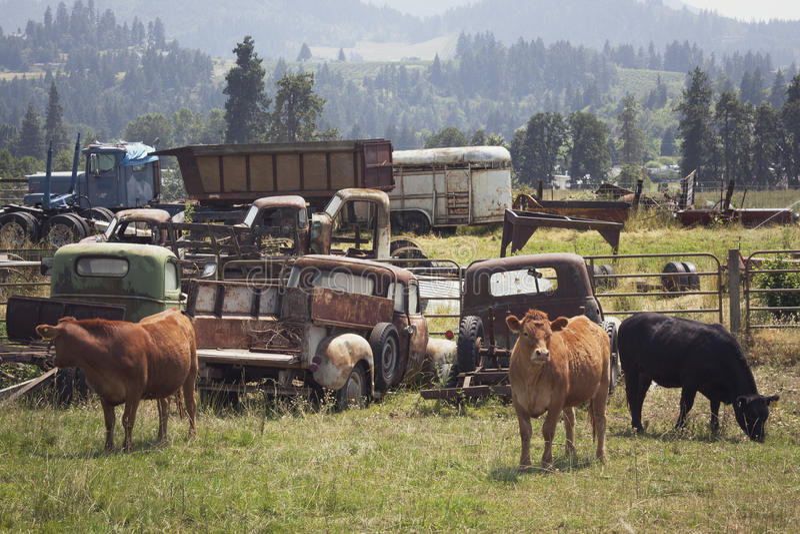 Коровы в поле стоковые изображения