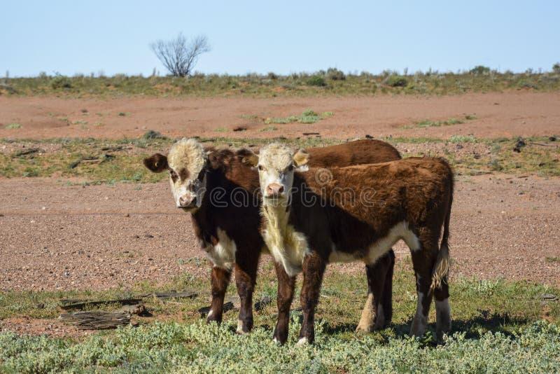 Коровы в середине захолустья в Австралии стоковое фото rf