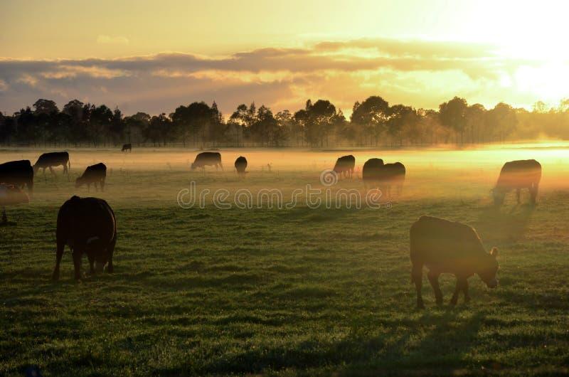 Коровы в туманном луге утра стоковое изображение rf