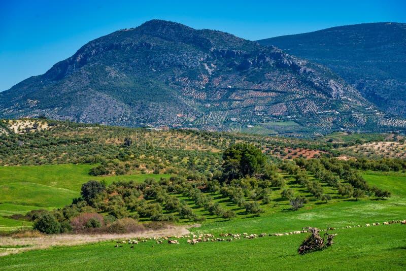 Коровы в Madrigueras в Сьерра de Grazalema, Андалусии, Испании стоковая фотография rf