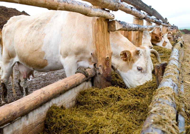 коровы есть подавая шкаф сена стоковое изображение