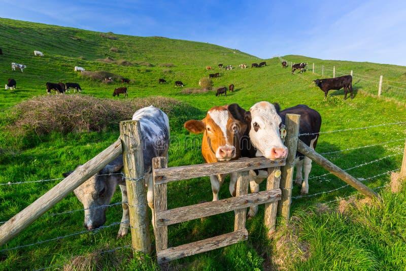 Коровы и быки английского языка стоковые фотографии rf
