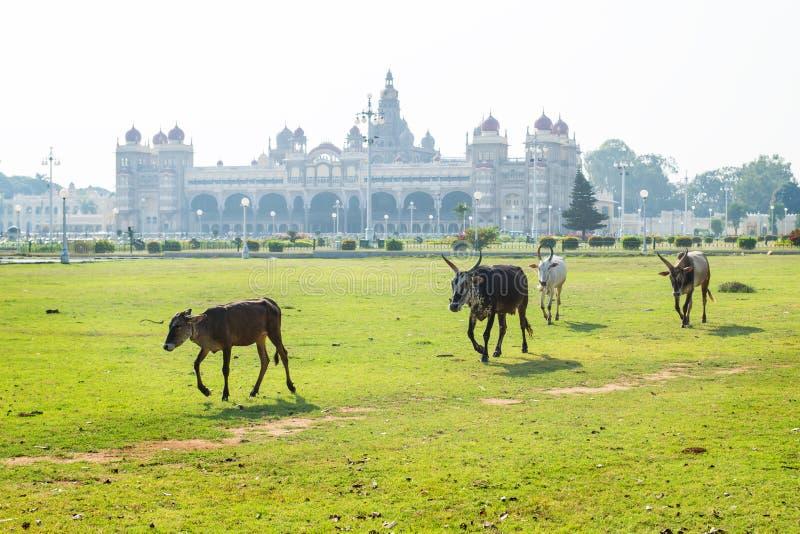 Коровы и быки идя в сад дворца Майсура, Индии стоковая фотография
