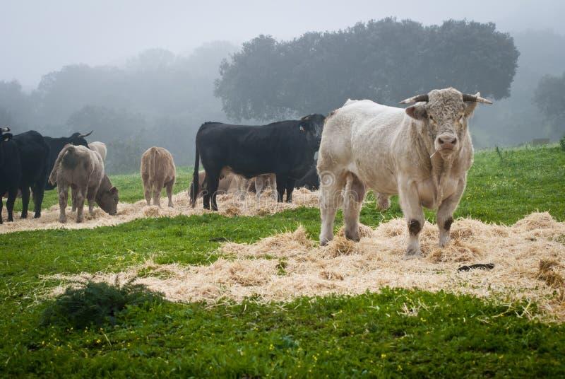 Коровы и быки стоковое фото rf