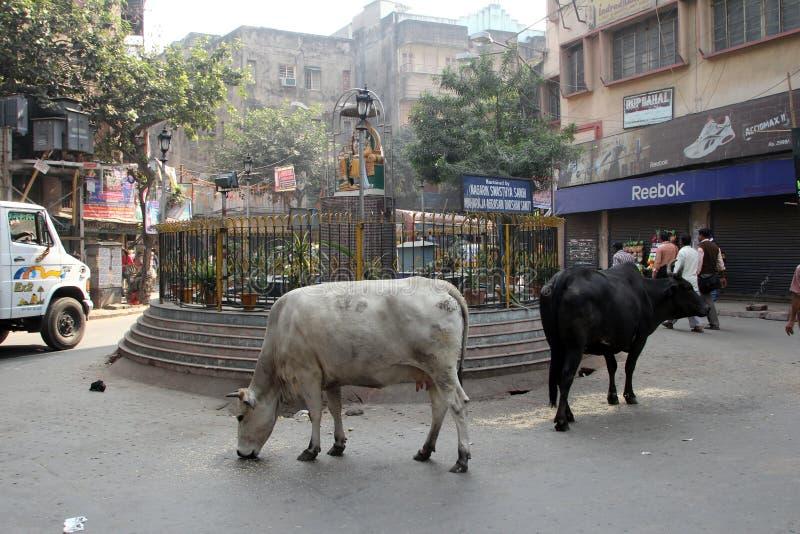 Коровы кочуют улицы Kolkata стоковое фото rf
