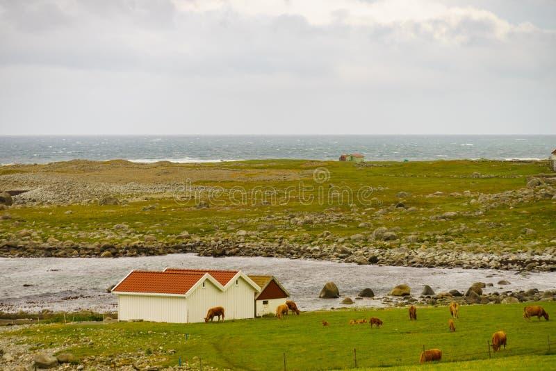 Коровы на выгоне Ландшафт побережья, юг Норвегия стоковые фото