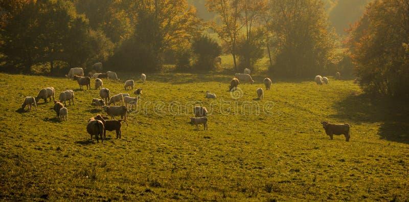Коровы на зеленом поле Вечер и коровы лета на выгоне Табун коров в заходе солнца стоковые фотографии rf