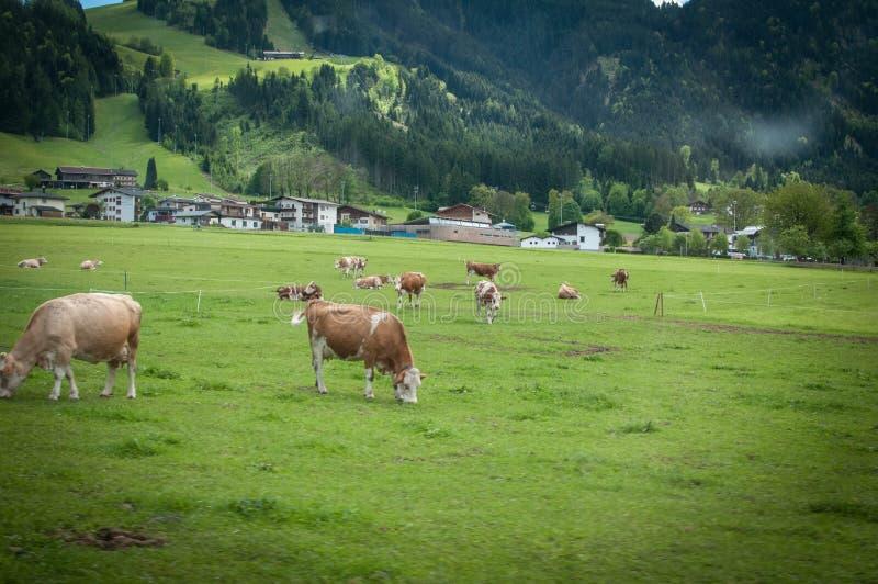 Коровы на зеленые поля стоковая фотография rf
