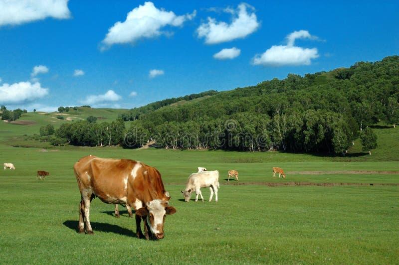 Коровы на злаковике стоковое изображение rf