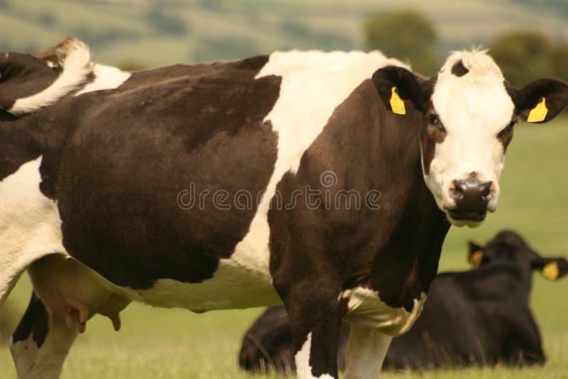 Коровы на поле стоковые фотографии rf