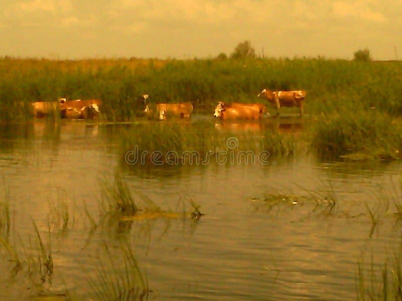 Коровы на реке на моча месте стоковое фото rf