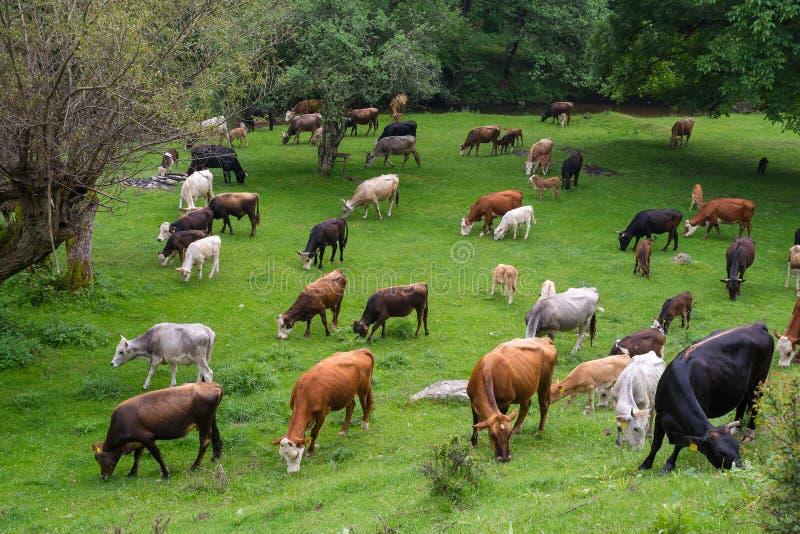 Коровы на Тавре pastureBos Быки и икры коров Группа в составе скотины фермы стоковое изображение rf