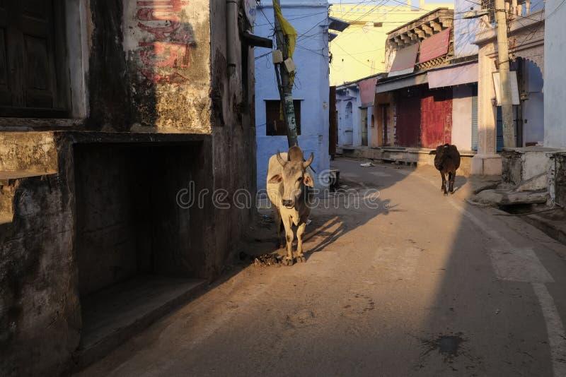 Коровы на улице Bundi стоковые изображения rf