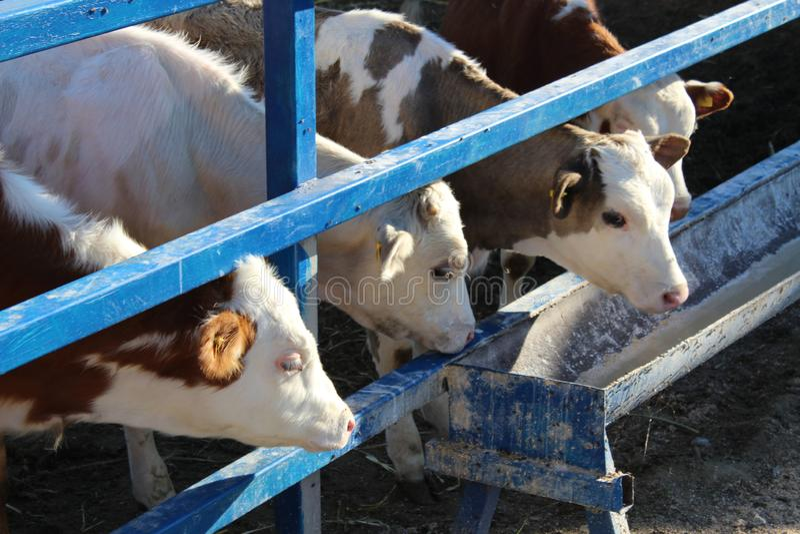 Коровы на ферме Черно-белые коровы есть сено в конюшне стоковые изображения rf