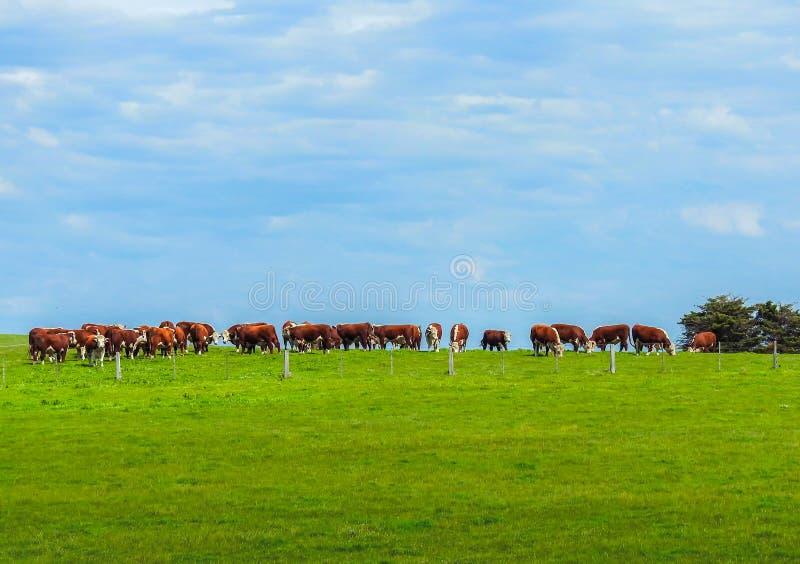 Коровы на холме в долине Yarra стоковые фотографии rf