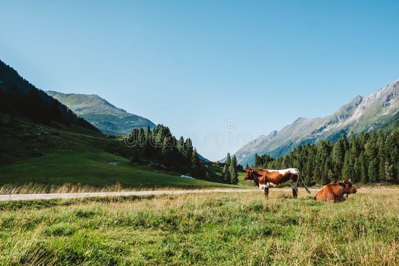Коровы на medow в австрийских горных вершинах стоковые фотографии rf