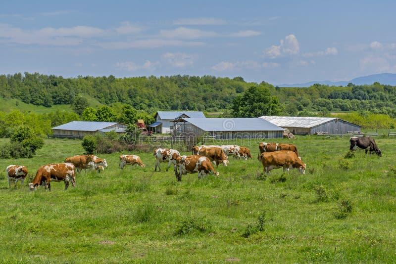 Коровы пасут в зеленом луге близко к ферме стоковые фото