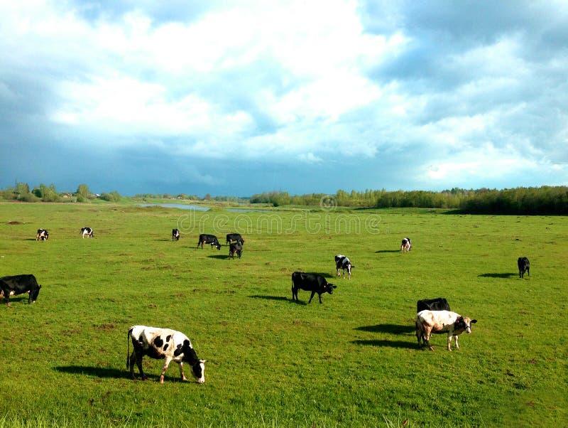 Коровы пасут в луге стоковые изображения
