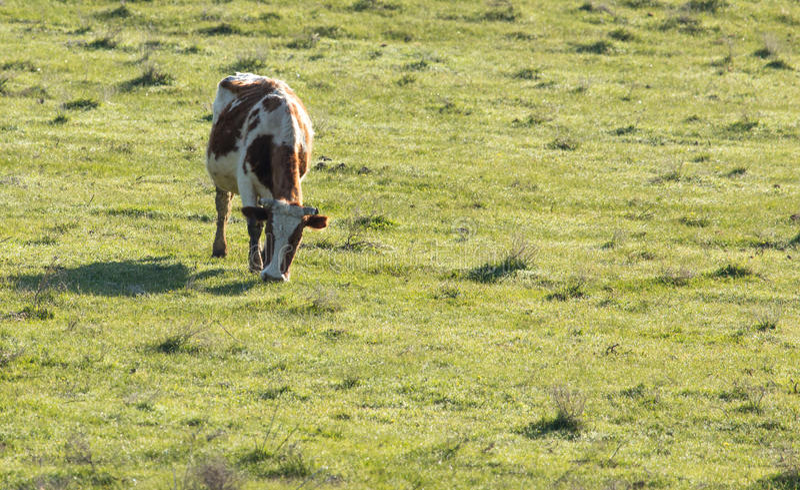 Коровы пасут на выгоне на природе стоковое фото