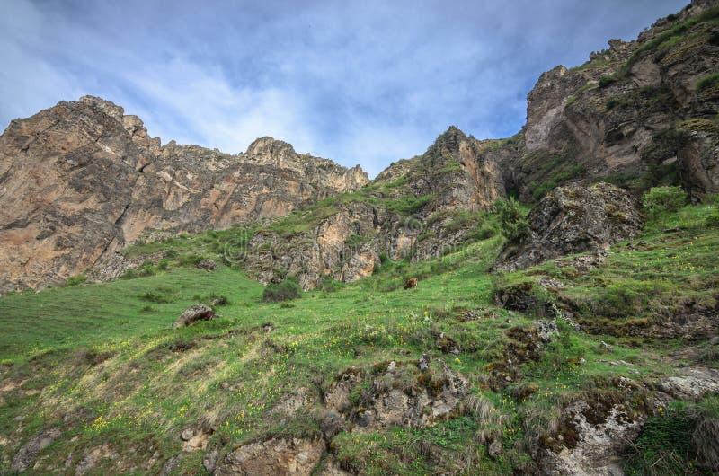 Коровы пасут на наклонах высокогорных гор Красивый грузинский ландшафт стоковое фото rf