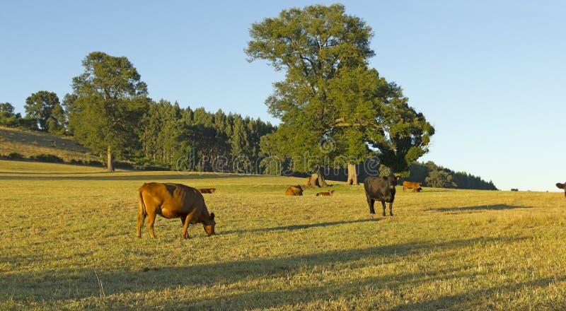 Коровы пася в выгонах чилийских Анд стоковое изображение rf