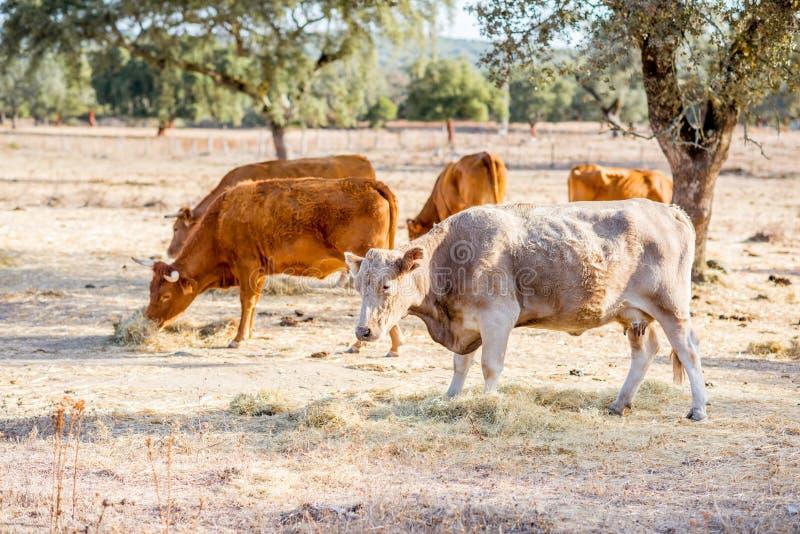 Коровы пася на красивом луге стоковые фотографии rf