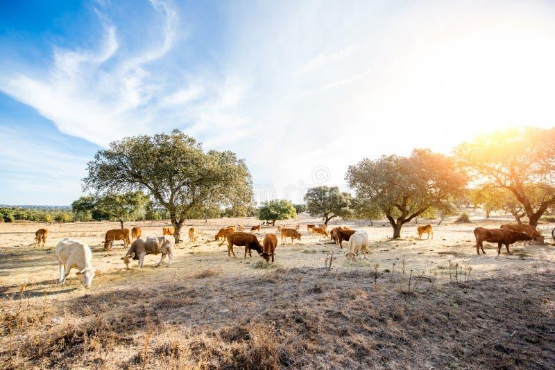 Коровы пася на красивом луге стоковые изображения