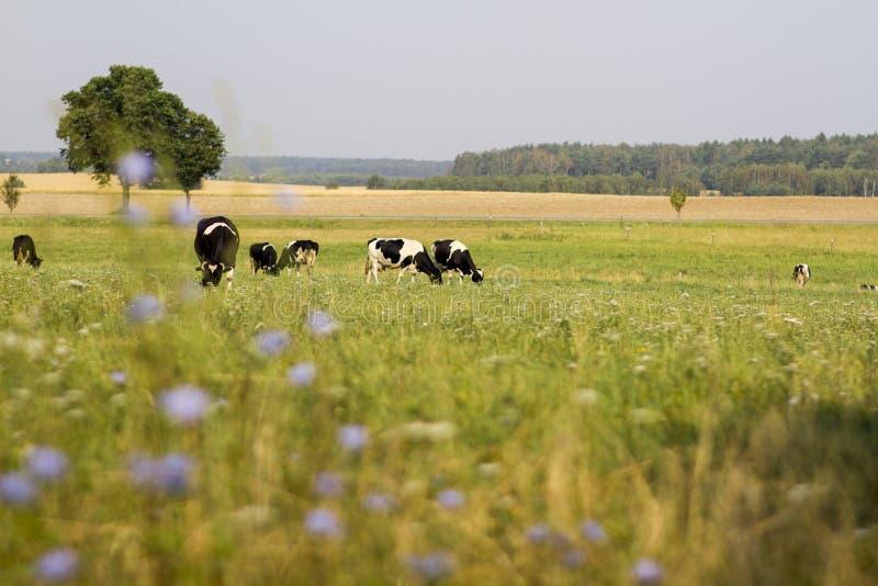 Коровы пася на луге стоковое изображение