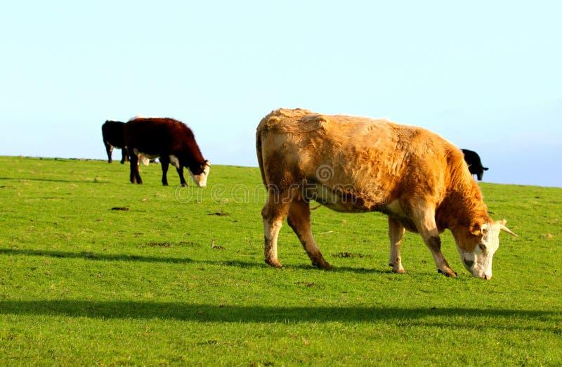 Коровы пася на лужке стоковое изображение rf