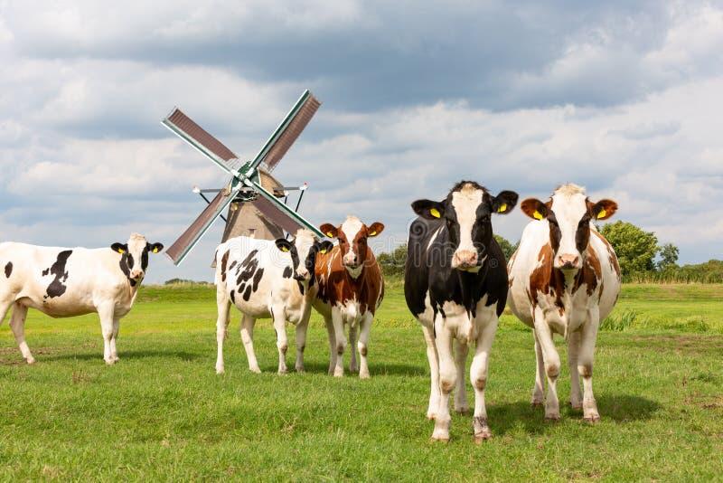 Коровы перед ветрянкой Akkersloot стоковые изображения