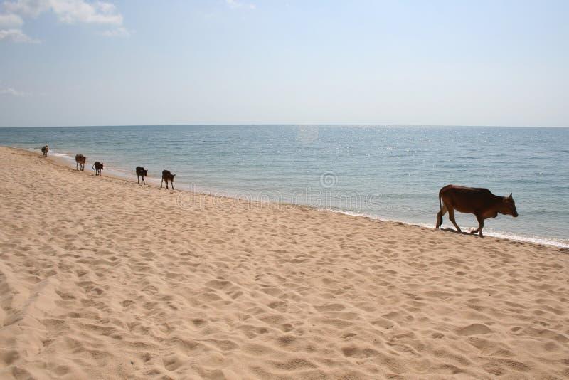коровы пляжа стоковое изображение rf