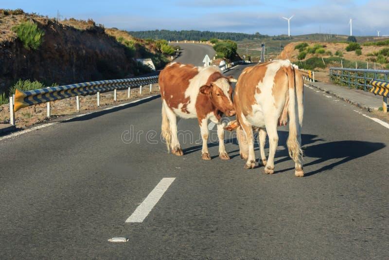 Коровы преграждая движение стоковое фото rf