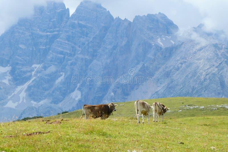 Коровы с колокольчиком едят траву стоковые фотографии rf